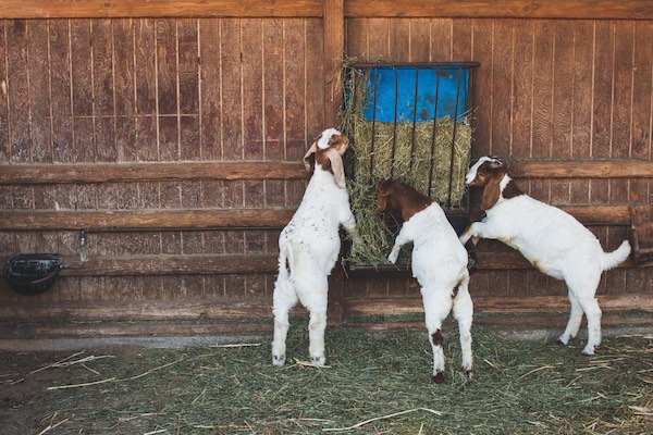 Three Goats: Kids Eating Hay Centennial Farms Costa Mesa California