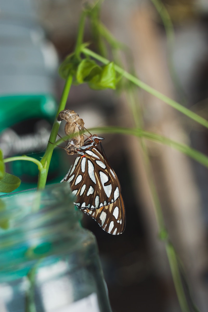 A Newly Hatched Butterfly Feels Right At Home At Castle Of Costa Mesa